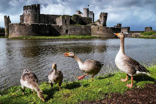 Greylag Geese And Caerphilly Castle Art Print