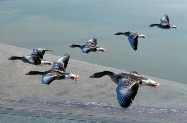 Goose Photograph - Greylag Geese Flying by Patrick Landmann/science Photo Library
