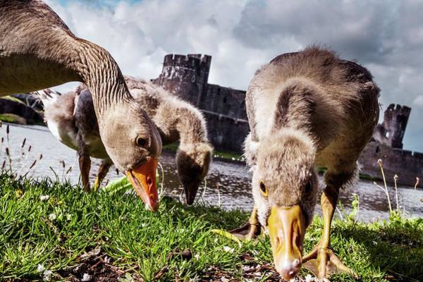 Goslings Photograph - Greylag Geese Grazing by Paul Williams