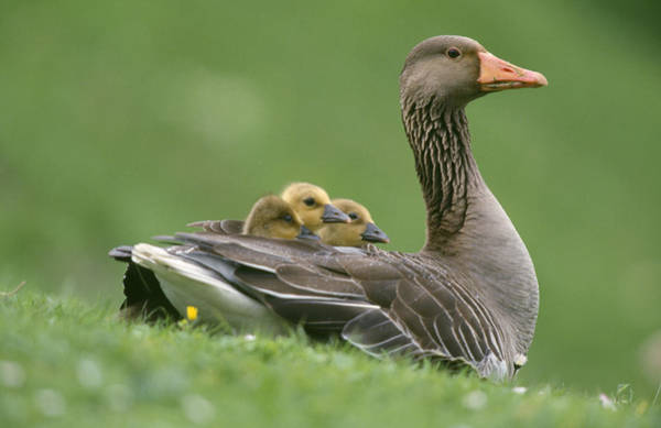 Mother Goose Photograph - Greylag Goose And Goslings by Duncan Usher