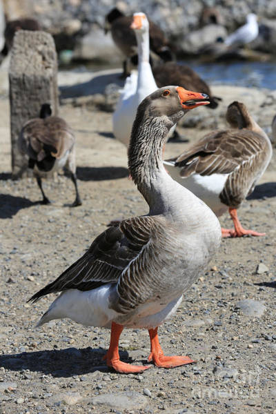 Photograph - Greylag Goose by Carol Groenen