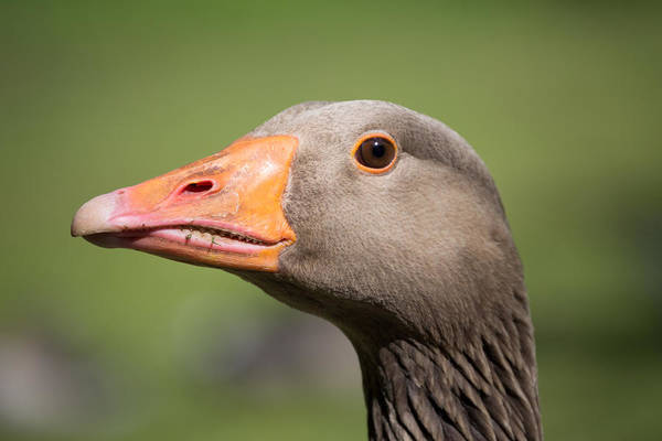 Photograph - Greylag Goose Head by Scott Lyons