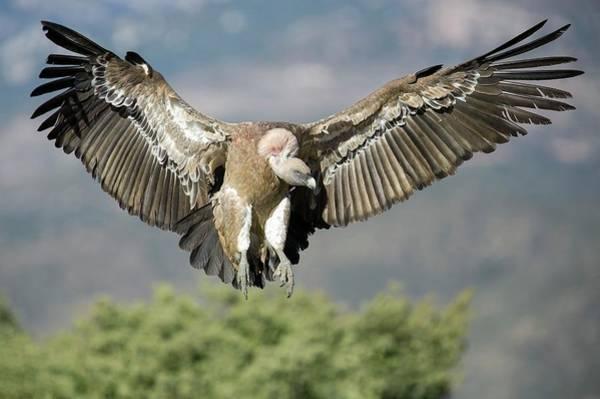 Griffon Vulture Flying Art Print