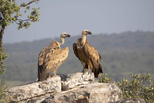 Accipitridae Wall Art - Photograph - Griffon Vulture Pair Extremadura Spain by Gerard de Hoog