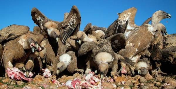 Scavengers Photograph - Griffon Vultures Feeding by Nicolas Reusens