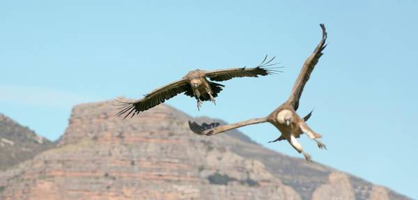Griffon Vultures Flying Art Print