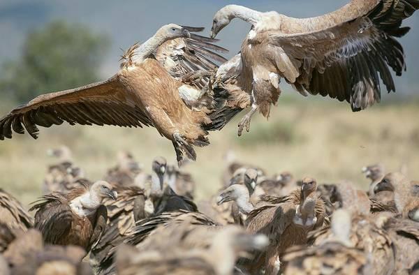 Scavengers Photograph - Griffon Vultures by Nicolas Reusens