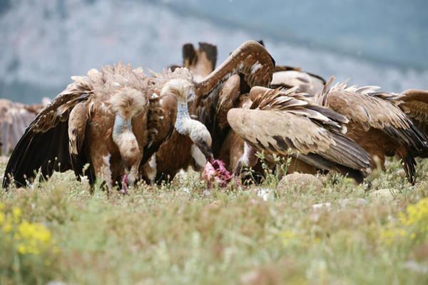 Griffon Vultures Scavenging Art Print