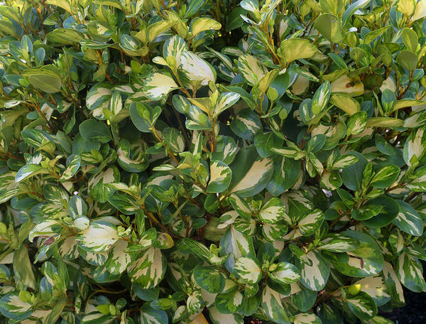 Wall Art - Photograph - Griselinia 'luscombes Gold' by Geoff Kidd/science Photo Library