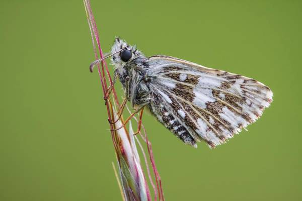 Imago Photograph - Grizzled Skipper Butterfly by Heath Mcdonald
