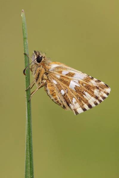 Skipper Photograph - Grizzled Skipper Butterfly by Heath Mcdonald/science Photo Library