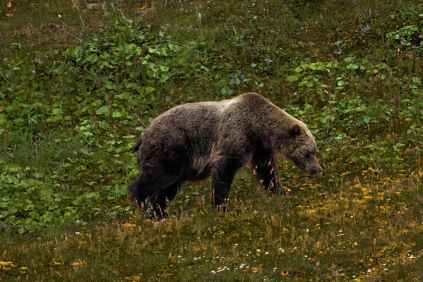 Wall Art - Photograph - Grizzley Bear Grazing On Berries by Panoramic Images