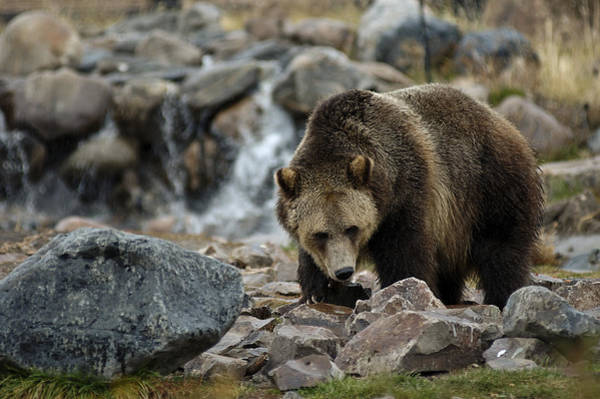 Photograph - Grizzly Bear 4 by Lee Kirchhevel