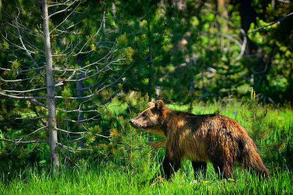Wall Art - Photograph - Grizzly Bear 760 by Greg Norrell