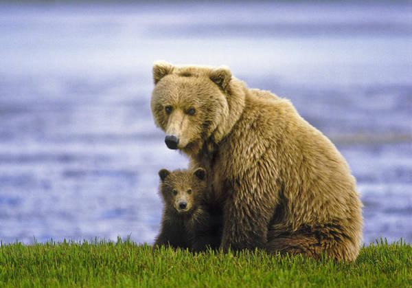 Boyd Photograph - Grizzly Bear And Cub by Boyd Norton