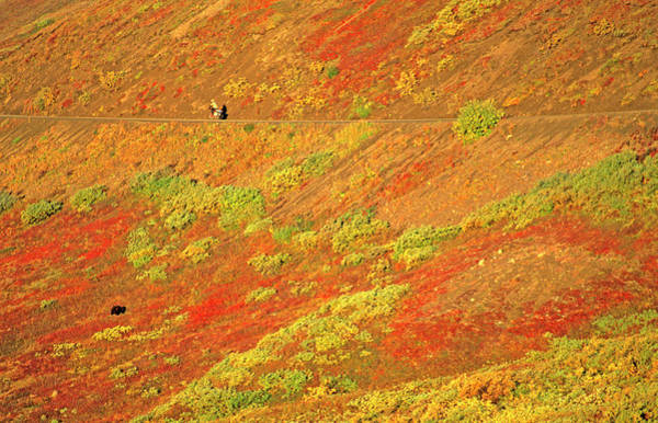 Wall Art - Photograph - Grizzly Bear And Mountain Biker, Denali by Stephen Gorman