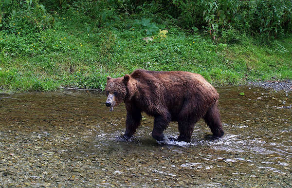 Photograph - Grizzly Bear At Fish Creek by Jean Clark