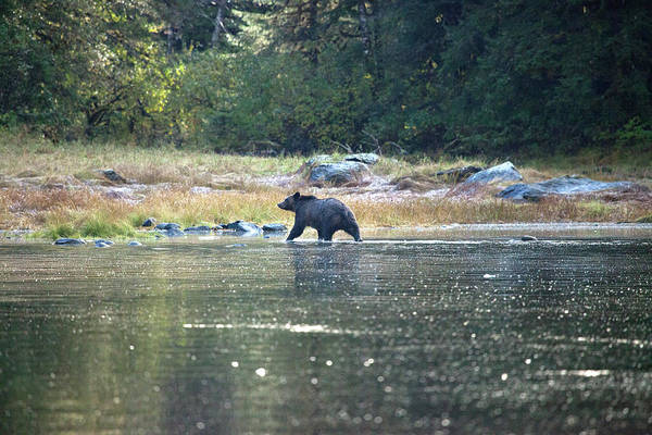 Grizzly Bear Photograph - Grizzly Bear At Poison Cove by John Borthwick