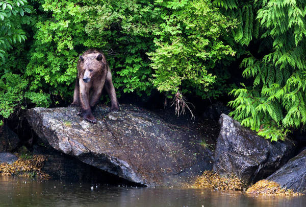 Waters Edge Photograph - Grizzly Bear At The Waters Edge by Doug Mckinlay