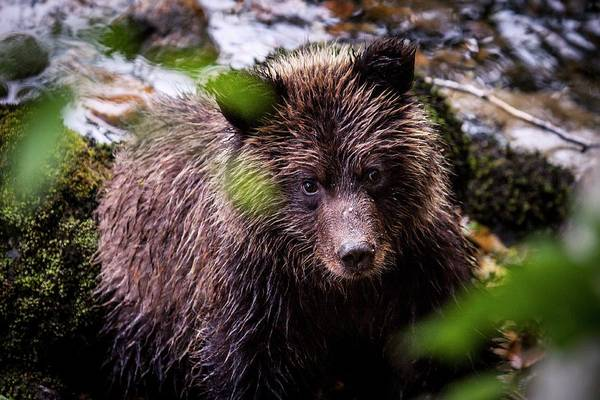 Canadian Fauna Photograph - Grizzly Bear By A River by Paul Williams