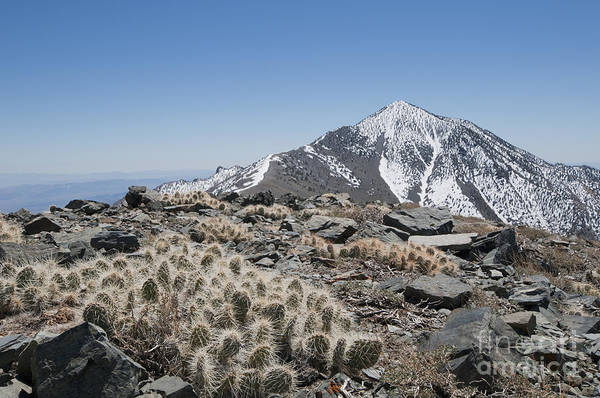 Photograph - Grizzly Bear Cactus And Telescope Peak by Dan Suzio