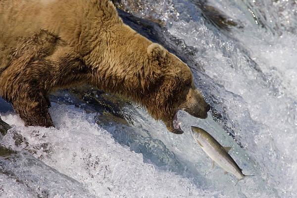 Wall Art - Photograph - Grizzly Bear Catching Salmon by Matthias Breiter