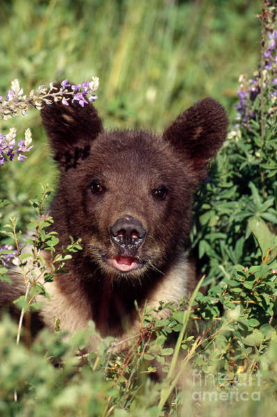 Photograph - Grizzly Bear Cub Ursus Arctos by Jeffrey Lepore