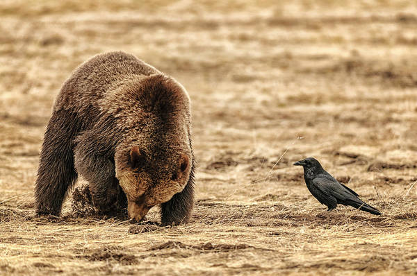 Grizzly Bear Photograph - Grizzly Bear Digging Roots, Watched By by Donald A Higgs