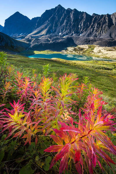 Photograph - Grizzly Bear Fireweed by Tim Newton