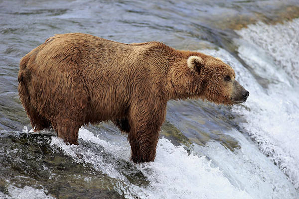 Christine Falls Photograph - Grizzly Bear Fishing For Salmon by Jurgen and Christine Sohns