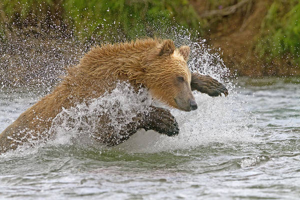 Wall Art - Photograph - Grizzly Bear Fishing by M. Watson
