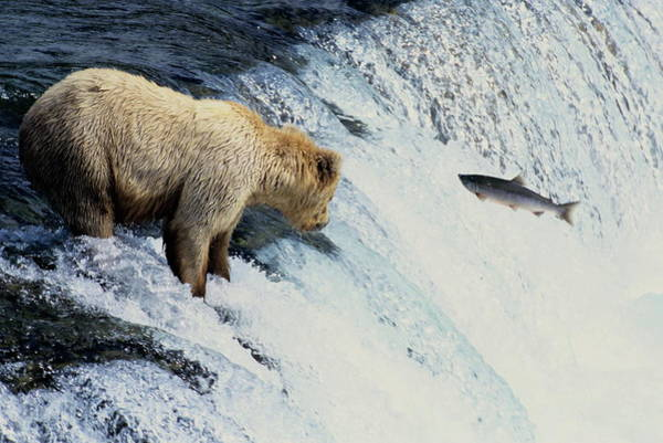 Chinook Salmon Photograph - Grizzly Bear Fishing by Philippe Psaila/science Photo Library