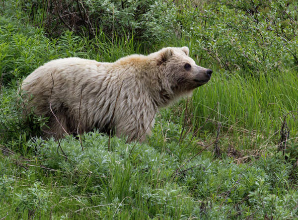 Born In The Usa Photograph - Grizzly Bear In Denali National Park by Barbara Eckstein