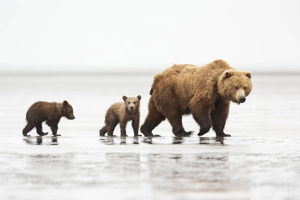 Grizzly Bears Photograph - Grizzly Bear Mother And Cubs Lake Clark by Richard Garvey-Williams