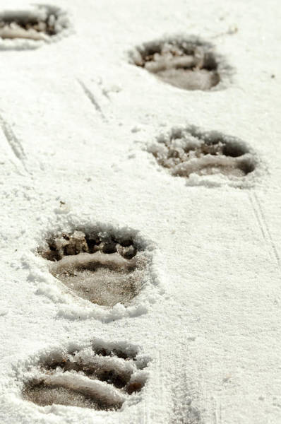 Photograph - Grizzly Bear Paw Tracks by Donald A Higgs