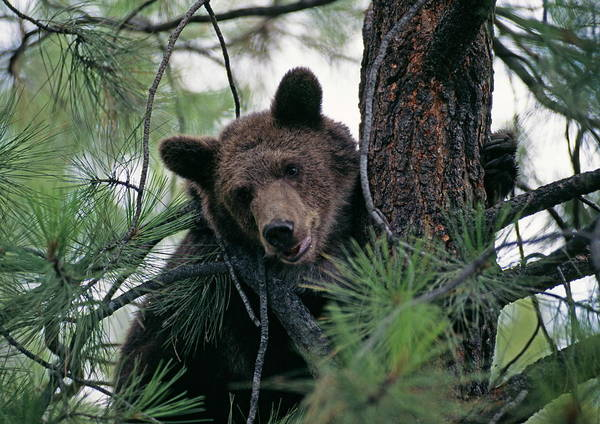 Grizzly Bear Photograph - Grizzly Bear by Philippe Psaila/science Photo Library