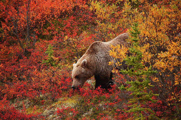 Grizzly Bear Art Print by Piriya Photography
