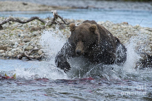 Photograph - Brown Bear Pouncing On Salmon by Dan Friend