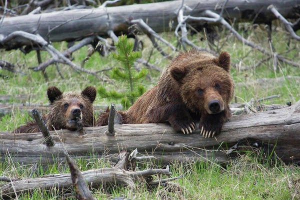 Grizzly Bears Photograph - Grizzly Bear Sow And Cub by Ken Archer