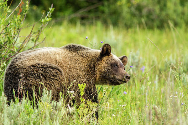 Sow Photograph - Grizzly Bear Sow In Grand Teton by Chuck Haney