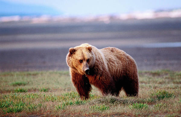 Grizzly Bear Photograph - Grizzly Bear Ursus Arctos by Ernest Manewal