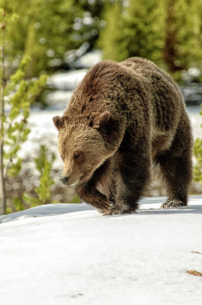 Grizzly Bear Photograph - Grizzly Bear Ursus Arctos Horribilis by Donald A Higgs