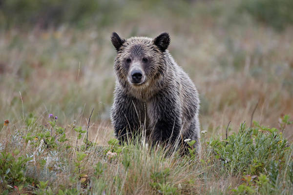 Grizzly Bear Photograph - Grizzly Bear Ursus Arctos Horribilis In by James Hager / Robertharding