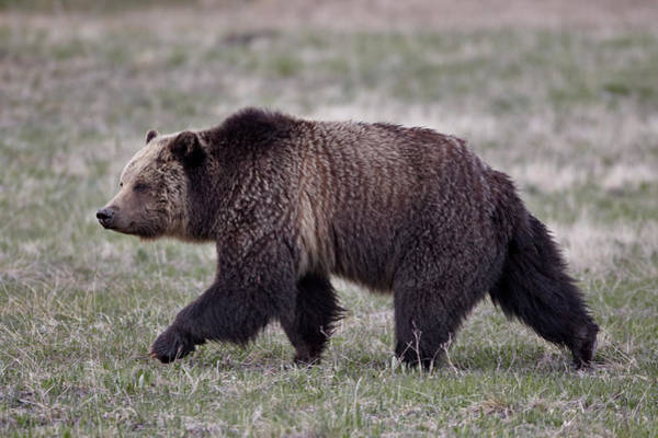 Grizzly Bear Photograph - Grizzly Bear Ursus Arctos Horribilis by James Hager / Robertharding