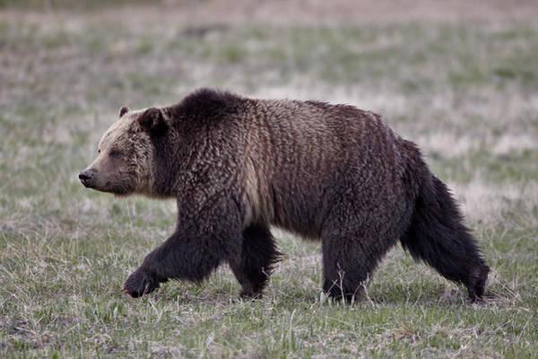 James Brown Photograph - Grizzly Bear Ursus Arctos Horribilis by James Hager / Robertharding