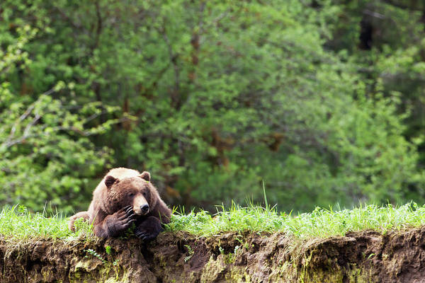 Grizzly Bears Photograph - Grizzly Bear Ursus Arctos Horribilis by Richard Wear / Design Pics