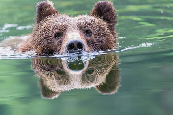 Grizzly Bear Photograph - Grizzly Bear Ursus Arctos Horribilis by Robert Postma / Design Pics