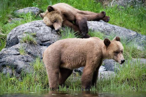 Grizzly Bear Photograph - Grizzly Bears by Dr P. Marazzi/science Photo Library