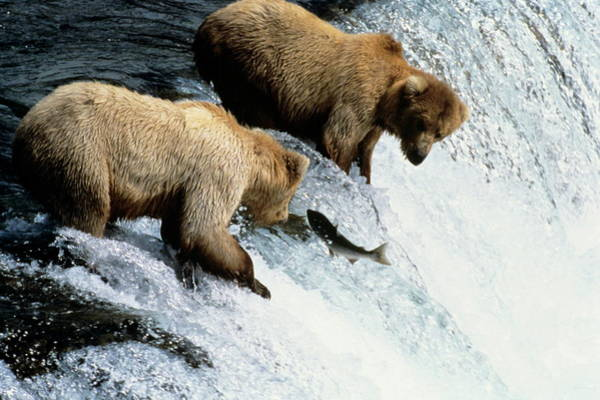 Chinook Salmon Photograph - Grizzly Bears Fishing by Philippe Psaila/science Photo Library
