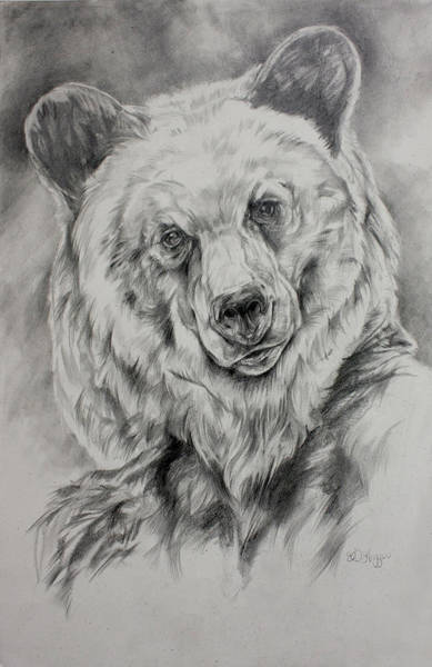 Montana Drawing - Grizzly by Derrick Higgins